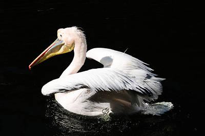 Pink Backed Pelican Poster