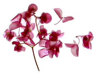Pink Begonia I Poster by Julia McLemore