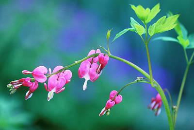 Pink Bleeding Hearts In Garden Poster by Jaynes Gallery