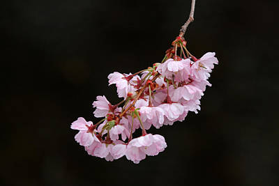 Pink Blossom With Raindrops Poster