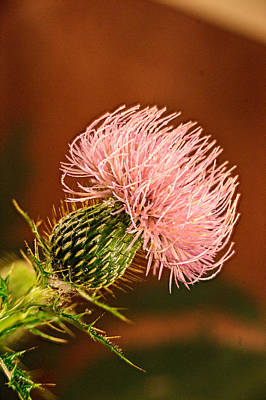 Pink Blossomed Thistle Poster