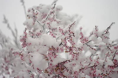 Pink Spring Blossoms In The Snow Poster