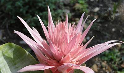 Pink Bromeliad  Bloom Poster by Cindy Croal