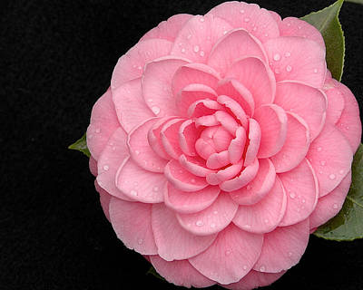 Pink Camellia After Rain Poster