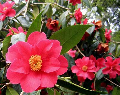 Pink Camellias Poster by Will Borden