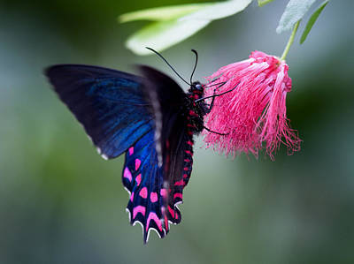 Poster featuring the photograph Pink Cattleheart Butterfly by Zoe Ferrie