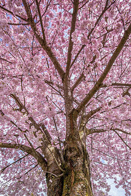 Pink Cherry Blossom Tree Poster by Pierre Leclerc Photography