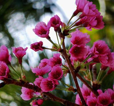 Pink Cherry Blossoms Poster by Pamela Walton