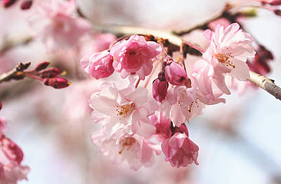 Pink Cherry Blossoms Poster by Trina  Ansel