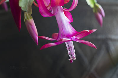 Pink Christmas Cactus Poster