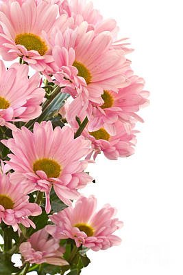 Pink Chrysanthemum Flower Poster by Boon Mee
