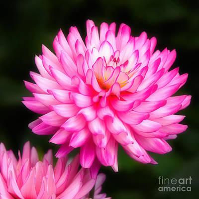Pink Chrysanths Poster