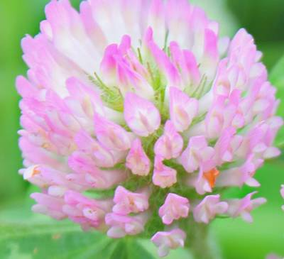 Poster featuring the photograph Pink Clover by Candice Trimble