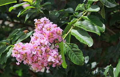 Pink Crape Myrtle Blossom With Tiny Bee Poster by Linda Phelps