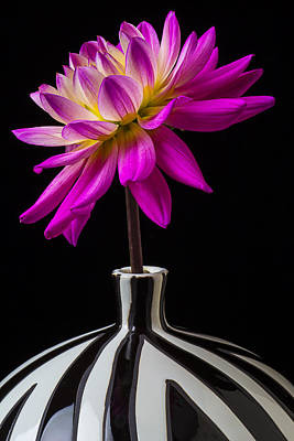 Pink Dahlia In Striped Vase Poster