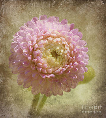 Pink Dahlia  Poster