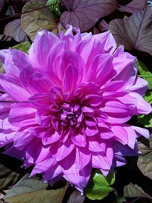 Pink Dahlia  Poster by Sharon Duguay
