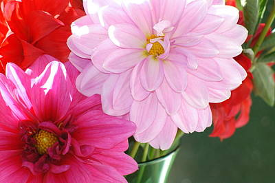 Pink Dahlias In The Morning Poster