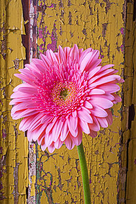Pink Daisy Against Yellow Wall Poster by Garry Gay