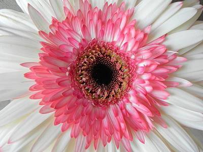 Pink Daisy Flower Poster