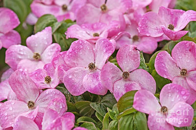 Pink Dogwood Blossoms With Raindrops Poster