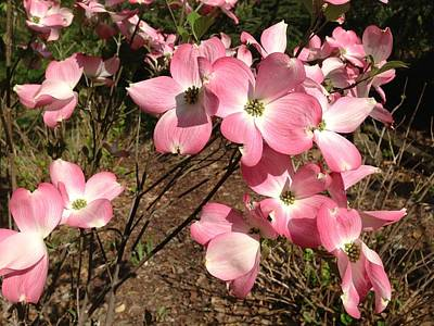Pink Dogwood Poster by Ron Torborg