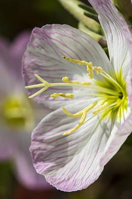 Pink Evening Primrose Flower Poster