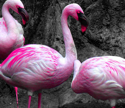 Poster featuring the photograph Pink Flamingos by J Anthony