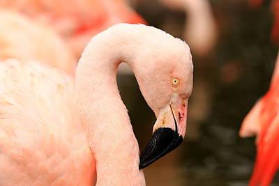 Pink Flamingos Poster