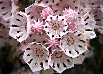 Pink Flowered Mountain Laurel Poster by William Tanneberger