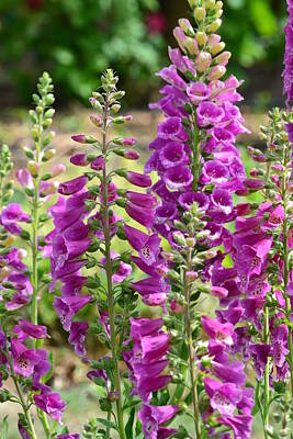Pink Foxglove Flowers Poster by P S