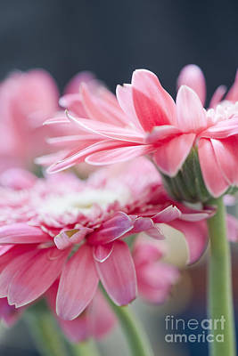 Pink Gerber Daisy - Awakening Poster by Ivy Ho