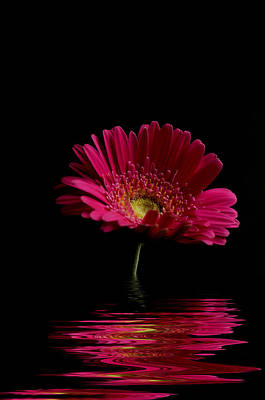 Pink Gerbera Flood 1 Poster by Steve Purnell