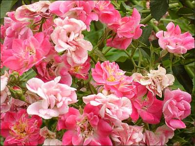 Poster featuring the photograph Pink Groundcover Roses by Margaret Newcomb