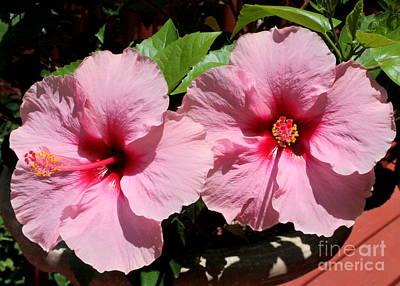 Pink Hibiscus Blooms Poster