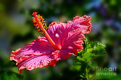 Pink Hibiscus By Kaye Menner Poster