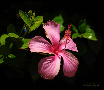 Pink Hibiscus Poster by Layla Alexander