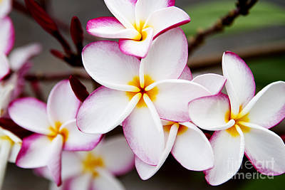 Pink Highlighted Plumeria Poster by Thanh Tran
