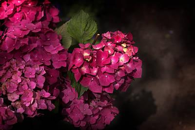 Pink Hydrangea Flowers In A Garden Poster