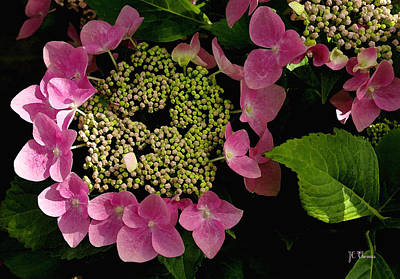 Poster featuring the photograph Pink Hydrangea by James C Thomas