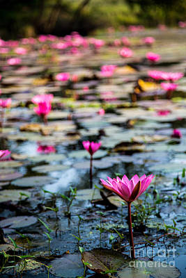 Pink Lily Pond Poster