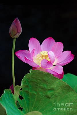 Pink Lotus Flowers Poster