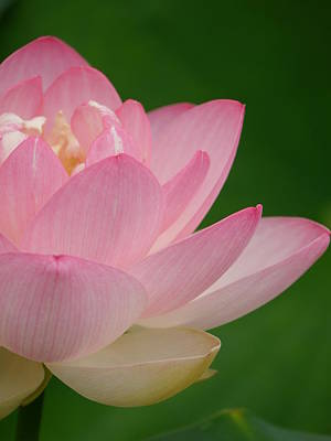 Pink Lotus Poster by Jane Ford