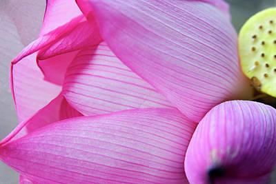 Pink Lotus Petal Bud Close-up Macro Poster