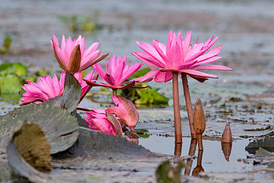 Pink Lotuses Poster by Fotosas Photography