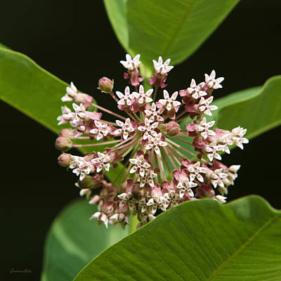 Pink Milkweed Flower Poster by Christina Rollo
