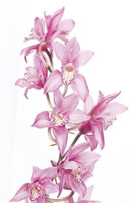 Pink Orchid Poster by Boon Mee
