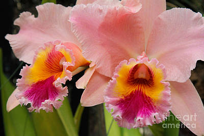 Pink Orchids 2 Poster by Chris Scroggins