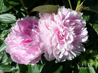 Pink Peonies 3 Poster by HEVi FineArt