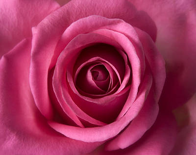 Pink Perfection - Roses Flowers Macro Fine Art Photography Poster